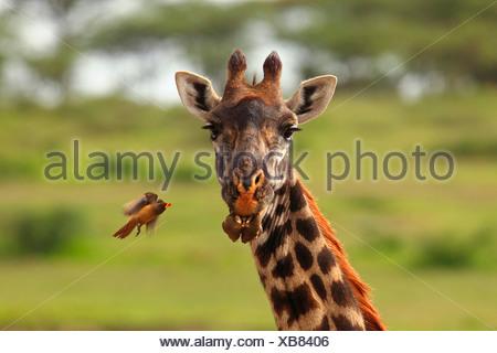 giraffe (Giraffa camelopardalis), red-billed oxpecker, Tanzania, Ngorongoro Conservation Area - Stock Photo