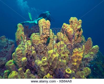 Diver and sponge cluster.