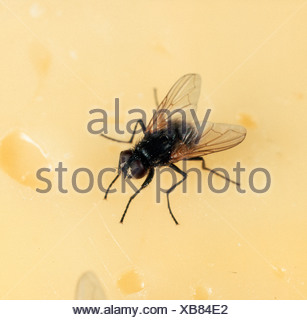 House fly or housefly Musca domestica on cheese - Stock Photo