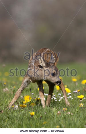 Roe Deer, capreolus capreolus, Fawn with Flowers, - Stock Photo