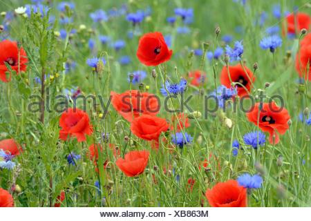 Grain field with flowering Poppies (Papaver rhoeas) and Cornflowers (Centaurea cyanus), Rennsteig, Blankenstein, Thuringia - Stock Photo