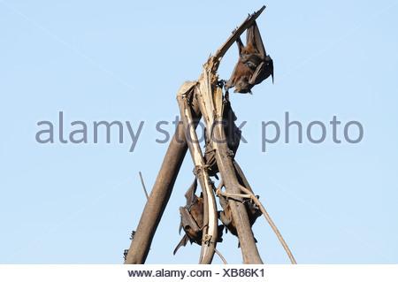 Black Flying-Fox, Pteropus alecto, Pteropodidae, bat, animal, mammal, Nitmiluk National Park, Northern Territory, Australia - Stock Photo