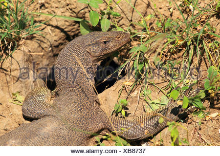 Bengal monitor, Indian monitor, common monitor (Varanus bengalensis), portrait, Sri Lanka, Yala National Park - Stock Photo