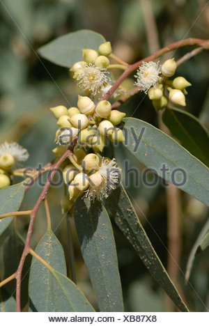 Gum tree Eucalyptus spp flowers stamens and buds with fused petals Crete - Stock Photo