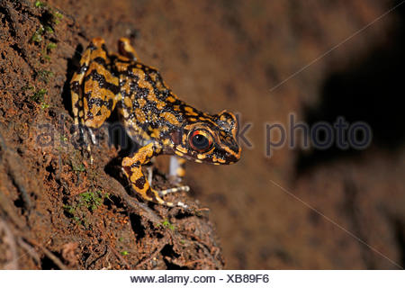 Foto van een mannetje gevlekte beek kikker (letterlijk vertaald uit het Engels) roepend op de over van een rivier; photo of a spotted streamfrog calling from the shores of a small river; - Stock Photo