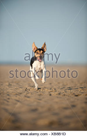 Dansk-Svensk Gardshund or Danish-Swedish Farmdog running on the beach - Stock Photo