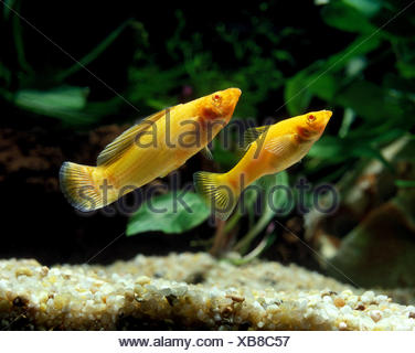 Sailfin Molly, poecilia velifera, Aquarium Fishes - Stock Photo