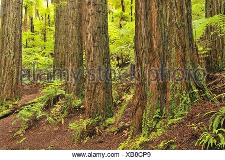 California redwood, coast redwood (Sequoia sempervirens), tree trunks and tree ferns, New Zealand, Northern Island, Bay of Plenty, Whakarewarewa Forest - Stock Photo