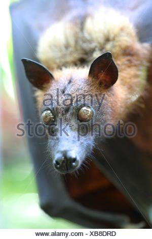 A close up Shot of an Australian Flying Fox. - Stock Photo