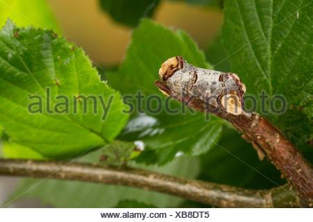 Buff-tip moth, Buff tip caterpillar (Phalera bucephala), well camouflaged on a twig, Germany - Stock Photo