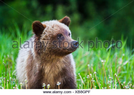 Grizzly Bear Cub (Ursus arctos horribilis) Cute Grizzly Cub feeding on grass and dandelions. Kananaskis, Alberta, Canada Stock Photo