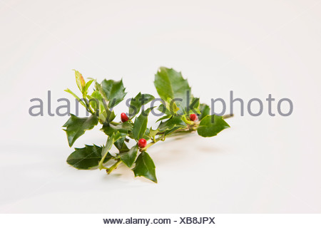 Sprig of holly in white background - Stock Photo