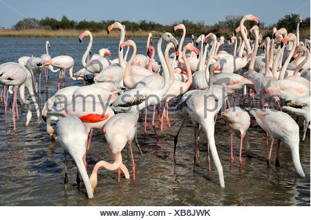 Great Flamingoes feeding in water - Pont de Gau France - Stock Photo