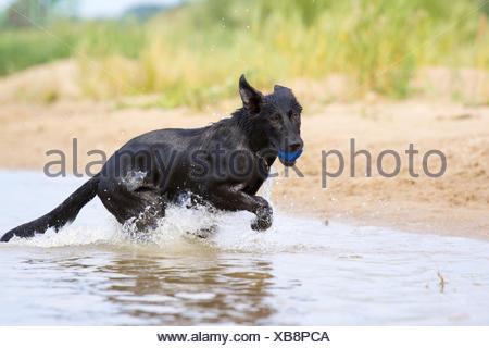 young German Shepherd - Stock Photo