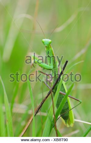 European preying mantis (Mantis religiosa), green female, Italy - Stock Photo