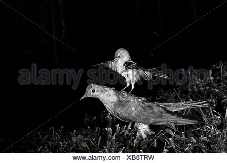 Chaffinch attacking a stuffed Cuckoo Staverton 1948. Photographed by Eric Hosking using a High Speed Flash unit to stop - Stock Photo