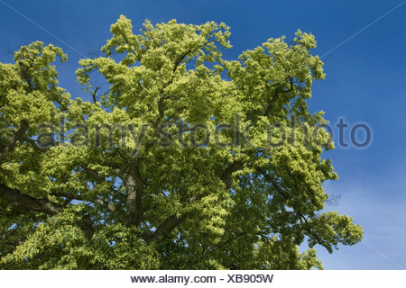 large-leaved lime, lime tree (Tilia platyphyllos), blooming, Germany - Stock Photo