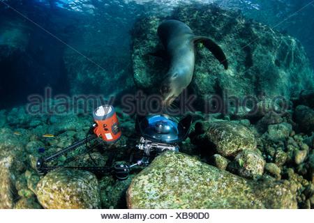 California sea Lion, playing with underwater camera, Los Islotes, Sea of Cortez, Baja California, Mexico, East Pacific Ocean - Stock Photo