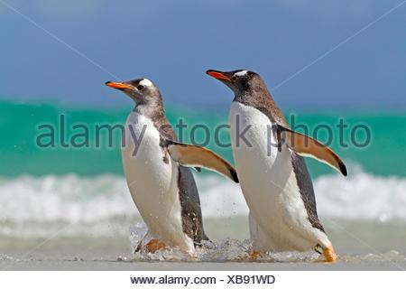 gentoo penguin (Pygoscelis papua), two penguins going on shore, Antarctica, Falkland Islands - Stock Photo