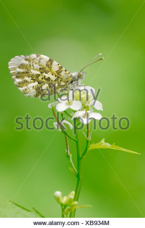 Orange Tip (Anthocharis cardamines), female perched on Garlic Mustard (Alliaria petiolata), North Rhine-Westphalia, Germany - Stock Photo