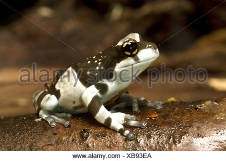 Amazonian canopy frog (Phrynohyas resinifictrix, Trachycephalus resinifictrix), on branch - Stock Photo