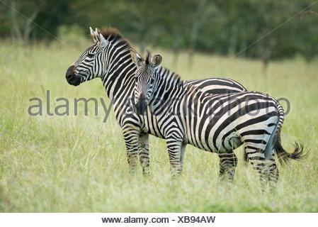 Plains zebras (Equus quagga), Lake Mburo National Park, Uganda - Stock Photo
