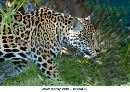 Jaguar Panthera onca animals animal - Stock Photo