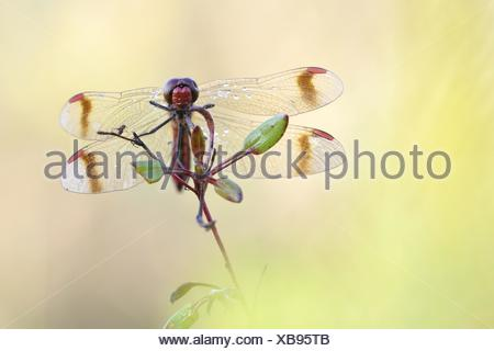 banded darter - Stock Photo