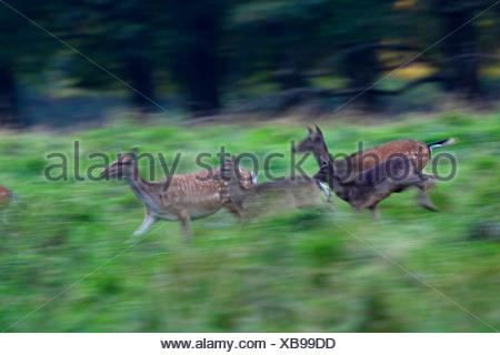 fallow deer (Dama dama, Cervus dama), fleeing pack, Denmark - Stock Photo