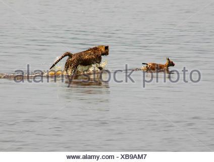 cheetah (Acinonyx jubatus), young animal hunting in the water, Tanzania, Serengeti National Park - Stock Photo