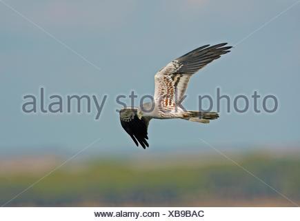 Montagu's Harrier - Circus pygargus - male - Stock Photo