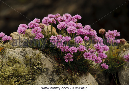 Thrift (Armeria maritima) flowering clump growing on lichen covered rocks Holyhead Holy Island South Stack Cliffs RSPB Reserve - Stock Photo