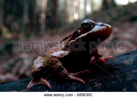 common frog, grass frog (Rana temporaria), sitting on a log, Germany, Bavaria, Isartal, Lenggries - Stock Photo
