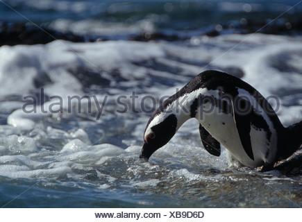 african penguin, black-footed penguin, spheniscus demersus - Stock Photo