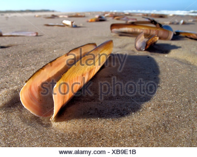 Atlantic jackknife clam (Ensis directus), Mussels on a beach with ocean waves and a blue sky in the background and sand in the - Stock Photo