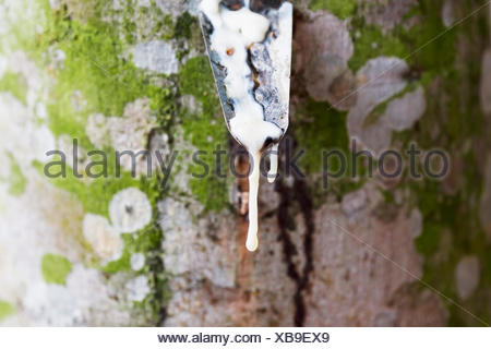 Latex being collected from a tapped rubber tree in a rubber tree plantation, Simalungun, North Sumatra, Indonesia - Stock Photo