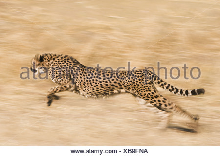 Namibia Cheetah Acinonyx jubatus running Conservation Fund - Stock Photo