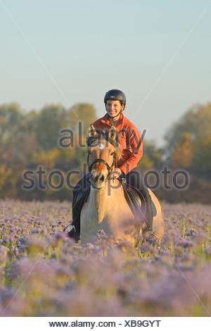 Junge  Reiterin auf Fjordpferd (Norweger) galoppiert in einem herbstlichen Luzerne Feld / Young rider on back of a Norwegian - Stock Photo