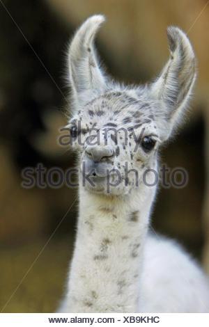 llama (Lama glama), portrait of a pup - Stock Photo