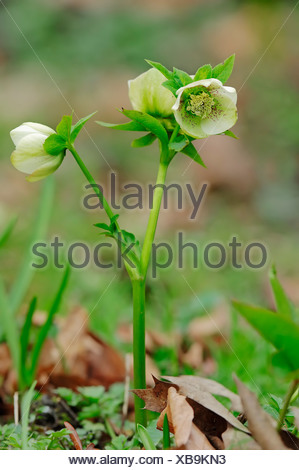 Christmas rose, black hellebore (Helleborus niger), blossom - Stock Photo