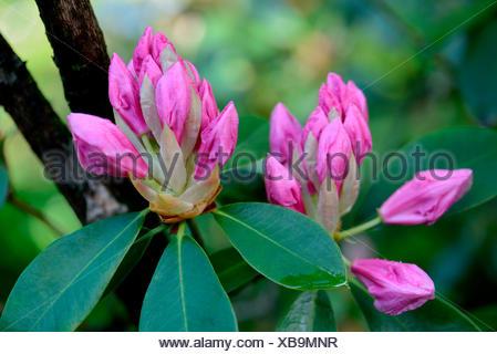 Rhododendron 'Pink Pearl', aufgehende Bluete / (Rhododendron griffithianum hybride) - Stock Photo