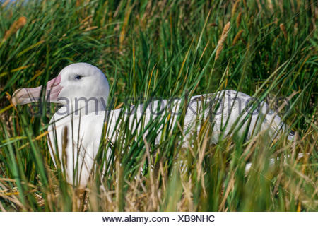 Wandering Albatross (Diomedea exulans) at its nesting site, Bay of Isles, South Georgia and South Sandwich Islands - Stock Photo