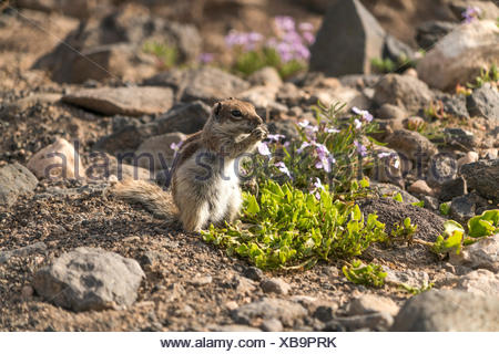 Atlashörnchen Atlantoxerus getulus  im Naturpark Jandia, Risco del Paso, Insel Fuerteventura, Kanarische Inseln, Spanien |  Barbary ground squirrel At - Stock Photo