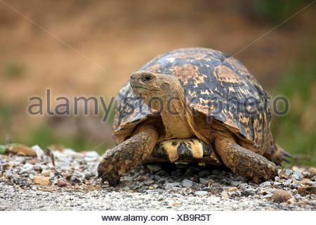 Leopard Tortoise, Addo Elephant Nationalpark, Eastern Cape, South Africa, Africa /  (Testudo pardalis) - Stock Photo