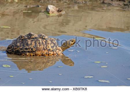 Leopard tortoise (Stigmochelys pardalis, Geochelone pardalis), in shallow water, Namibia, Etosha National Park - Stock Photo