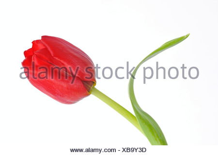 Tulip (Tulipa) - Stock Photo