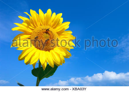 common sunflower (Helianthus annuus), single sunflower in front of blue sky with three honey bees, Switzerland, Zuercher Oberland - Stock Photo