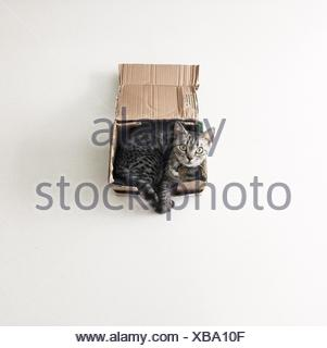 American shorthair cat lying in a cardboard box - Stock Photo