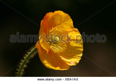 Leipzig, Germany, yellow poppy - Stock Photo