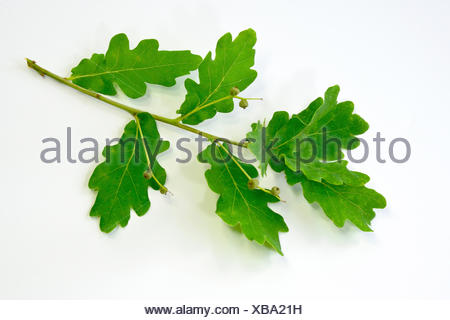 Pedunculate Oak, English Oak (Quercus robur). Twig with spring leaves. Studio picture against a white background - Stock Photo